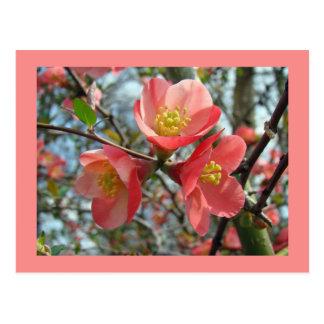 花盛りのマルメロ- Chaenomelesのspeciosa ポストカード