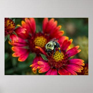 花粉のバスケットが付いている《昆虫》マルハナバチのクローズアップ ポスター