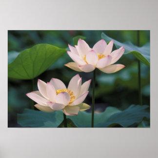 花、中国のはすの花 ポスター