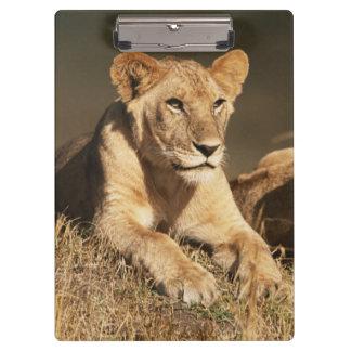 若いオスのライオンのプライド クリップボード