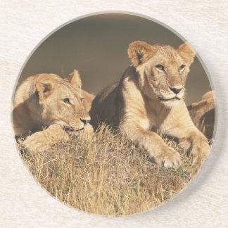 若いオスのライオンのプライド コースター
