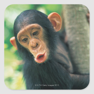 若いチンパンジー(鍋のtroglodytes) スクエアシール