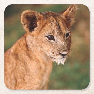 若いライオンのモデル スクエアペーパーコースター