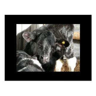 若く黒い雌牛の子牛 ポストカード