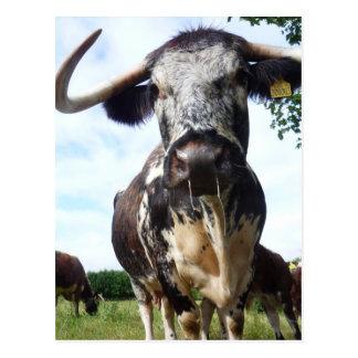 英国の長角牛の牛牛郵便はがき ポストカード