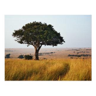 草が茂った平野、マサイ語マラの独身のなアカシアの木、 ポストカード
