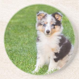 草に坐っている1匹の若いシェットランド・シープドッグ犬 コースター
