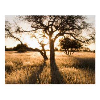 草のアカシアの木のシルエット。 Mariental ポストカード