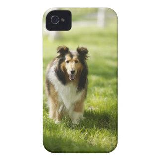草のシェットランド・シープドッグのランニング Case-Mate iPhone 4 ケース