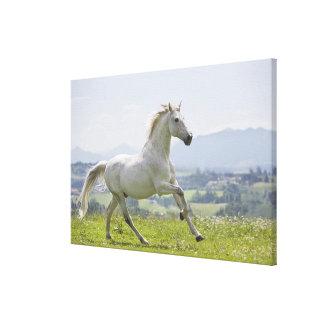 草原の白馬のランニング キャンバスプリント