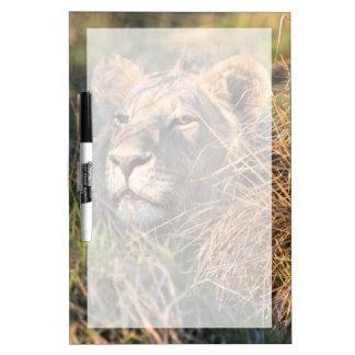草、かいま見る頭部でつきまとっているオスのライオン ホワイトボード