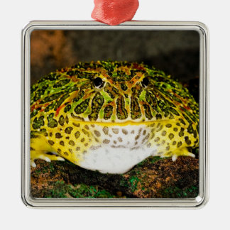 華美な角のカエル、Ceratophrysのornata、先住民 メタルオーナメント