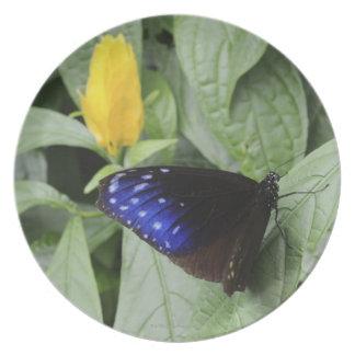 葉のストライプので青いカラス(Euploeaのmulciber)、 プレート