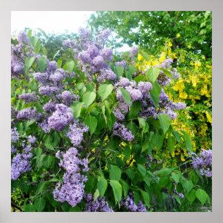薄紫の花の塀ゴトランドスウェーデン ポスター