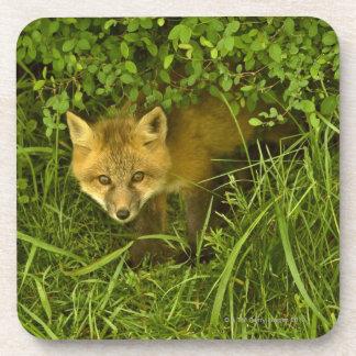 薮に隠れることから来ている若いアカギツネ コースター