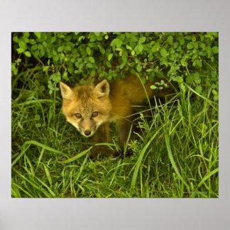 薮に隠れることから来ている若いアカギツネ ポスター