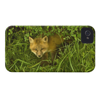 薮に隠れることから来ている若いアカギツネ Case-Mate iPhone 4 ケース
