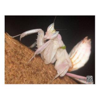 蘭のカマキリ ポストカード