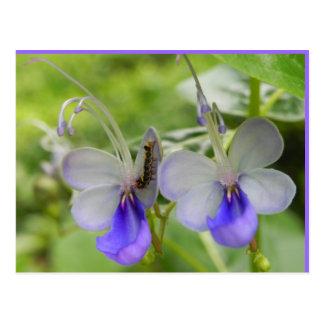 蝶花および幼虫 ポストカード