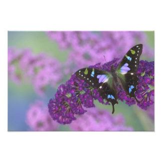 蝶31のSammamishワシントン州の写真 フォトプリント