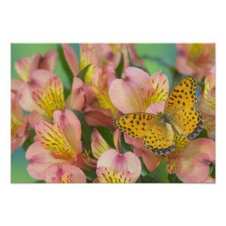 蝶47のSammamishワシントン州の写真 フォトプリント