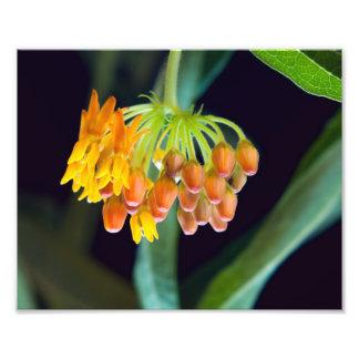 蝶Milkweedの芽および開花 フォトプリント