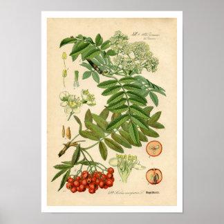 装飾者の植物のプリント- Appleのナナカマド ポスター
