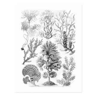 褐藻 ポストカード