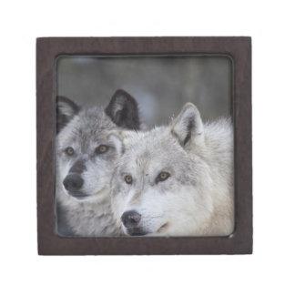 西のイエローストーンからのオオカミ(Canusのループス)。 これ ギフトボックス