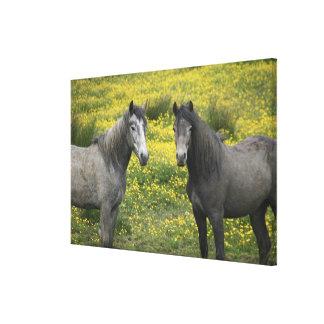 西部のアイルランドでは、長くの2頭の馬 キャンバスプリント