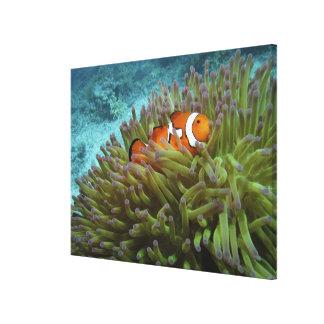 西部のClownfish (Amphiprionのocellaris)、 キャンバスプリント