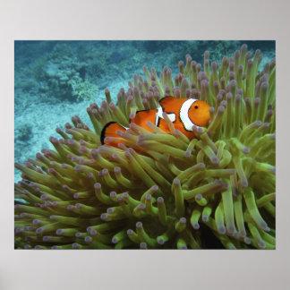 西部のClownfish (Amphiprionのocellaris)、 ポスター