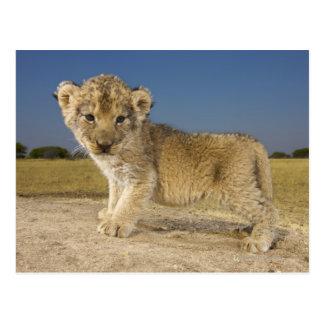 見る若いライオンの子(ヒョウ属レオ)の眺め ポストカード