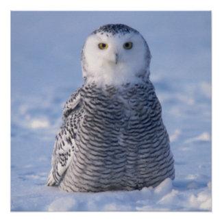 設計されているかわいいアラスカの冬のSnowyのフクロウの写真 ポスター