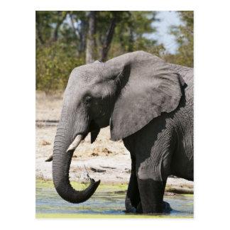 象(Loxodontaのafricana)、Savuteチャネル ポストカード