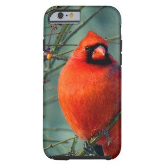 豪華で赤いオスの(鳥)ショウジョウコウカンチョウ ケース