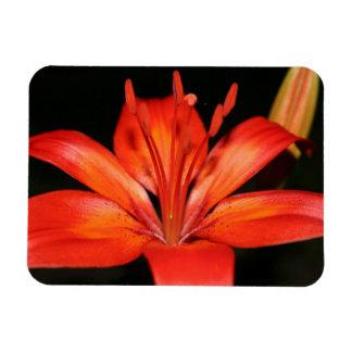 赤いおよびオレンジアジアユリのクローズアップの写真の磁石 マグネット