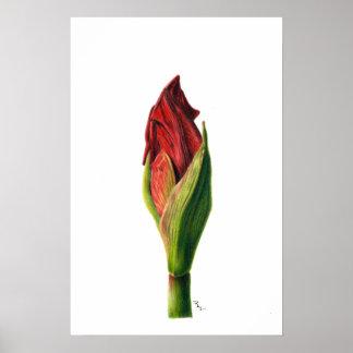 赤いアマリリスのプリント ポスター