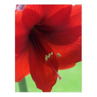 赤いアマリリスの郵便はがき ポストカード