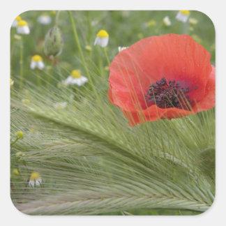 赤いケシの花、タスカニー、イタリア スクエアシール