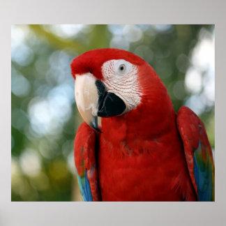 赤いコンゴウインコ ポスター