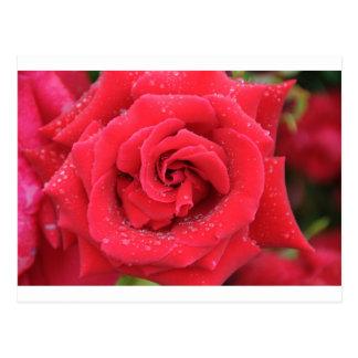赤いバラの雨滴 ポストカード