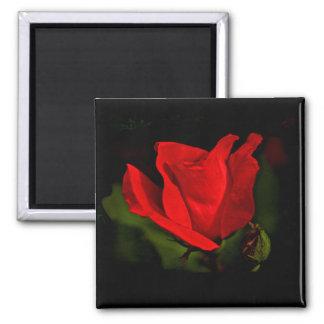 赤いバラ-暗い情熱 マグネット