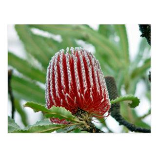 赤いバンクシアの花 ポストカード