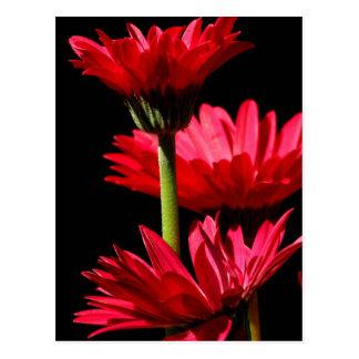 赤いバーガンディのガーベラのデイジー ポストカード