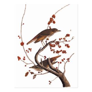 赤い果実を持つチャイロコツグミのAudubonの鳥 ポストカード