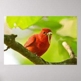赤い男性の夏フウキンチョウ族の食べ物の幼虫ポスター ポスター