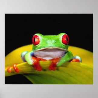 赤い目TreefrogのAgalychinisのcallidryas、先住民 ポスター