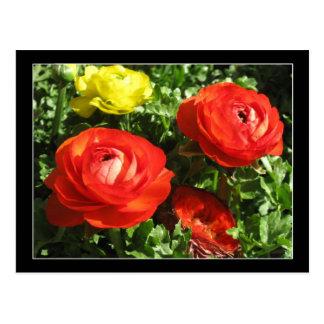 赤いRanunculusの花 ポストカード