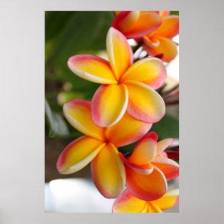 赤くおよび黄色のプルメリアの花2 ポスター